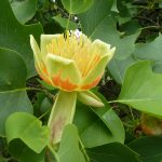 All About The Tulip Tree, The State Tree
