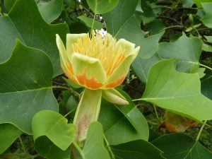 Read more about the article All About The Tulip Tree, The State Tree